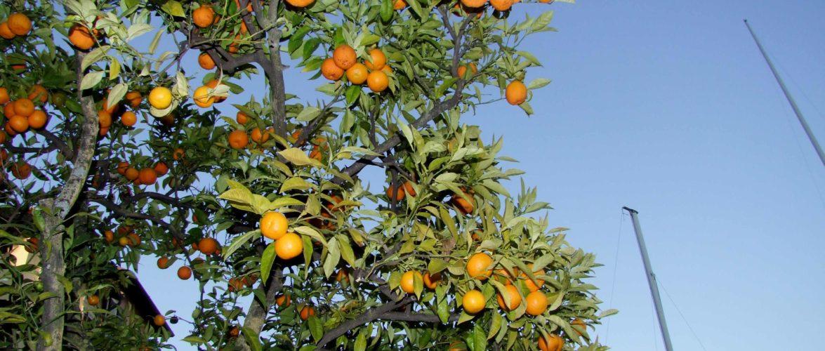 melangolo  o arancia  amara