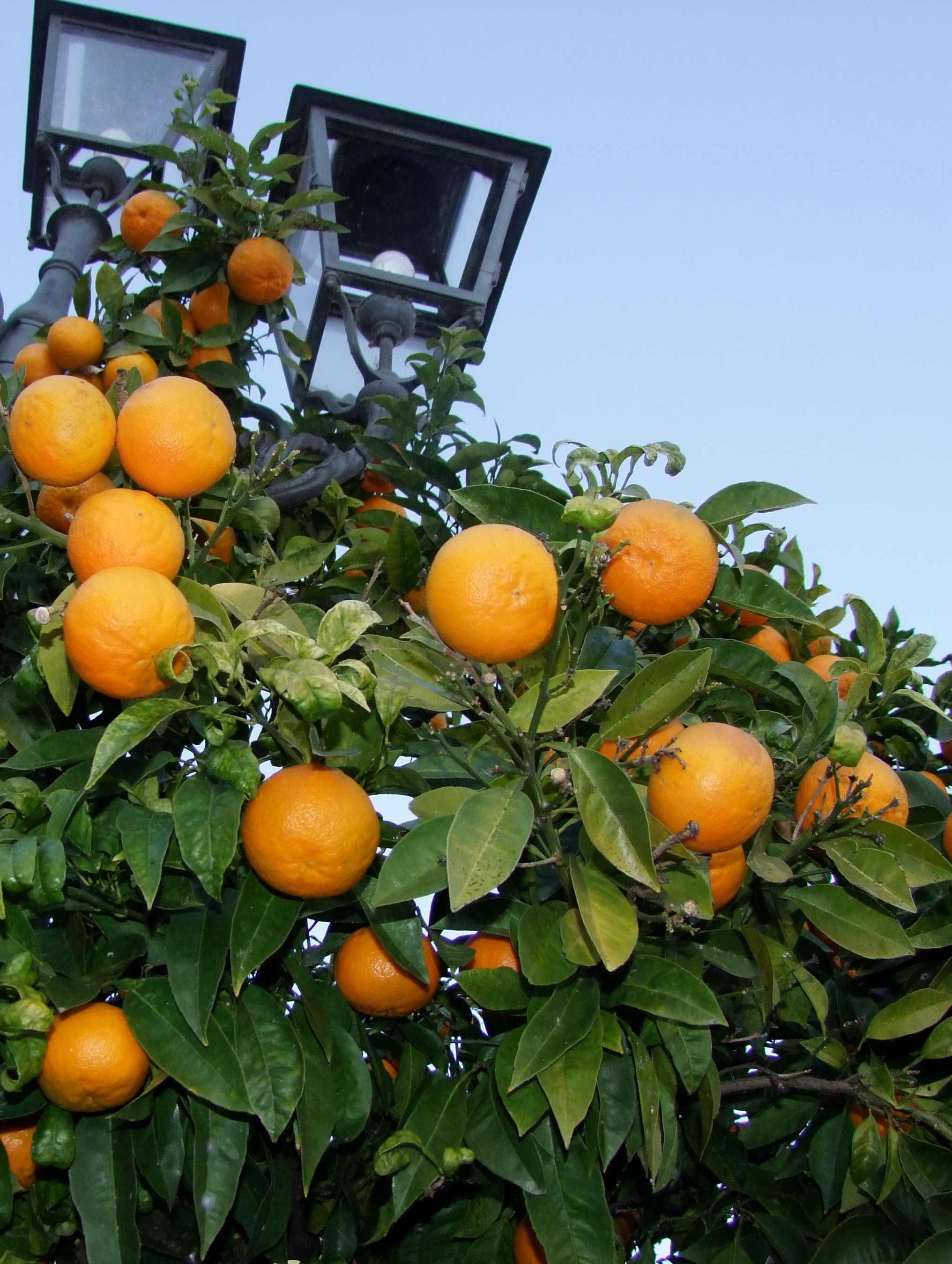 arance amare marmellata