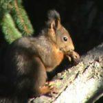 scoiattolo sciurus vulgaris