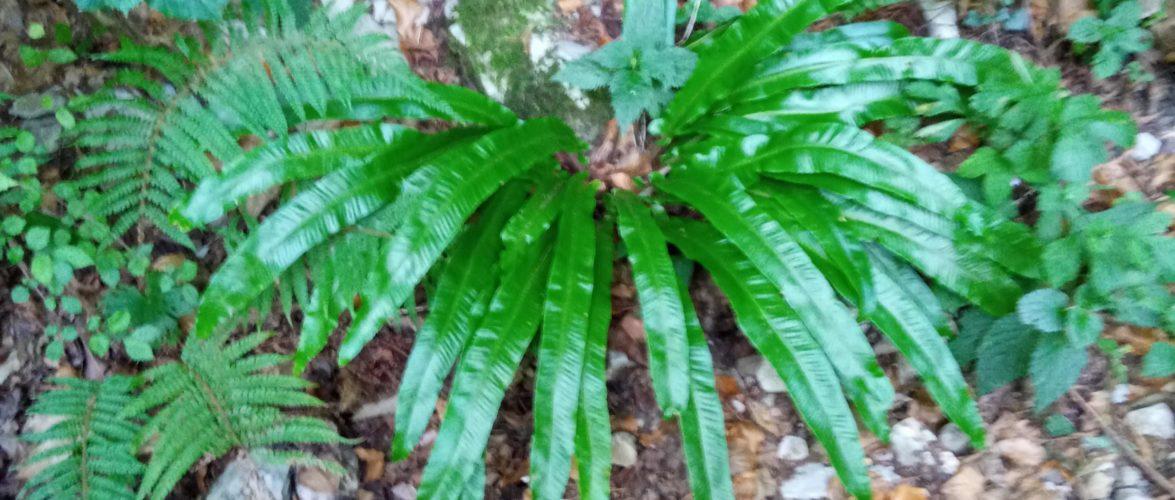 Lingua di cervo asplenium scolopendrium
