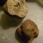 tartufo legnoso tuber excvatum