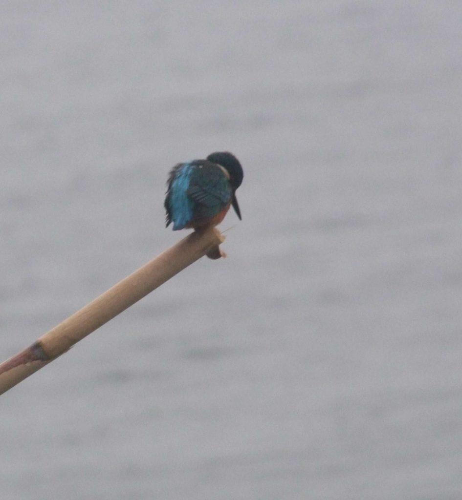martin pescatore nella colorazione  blu e verde