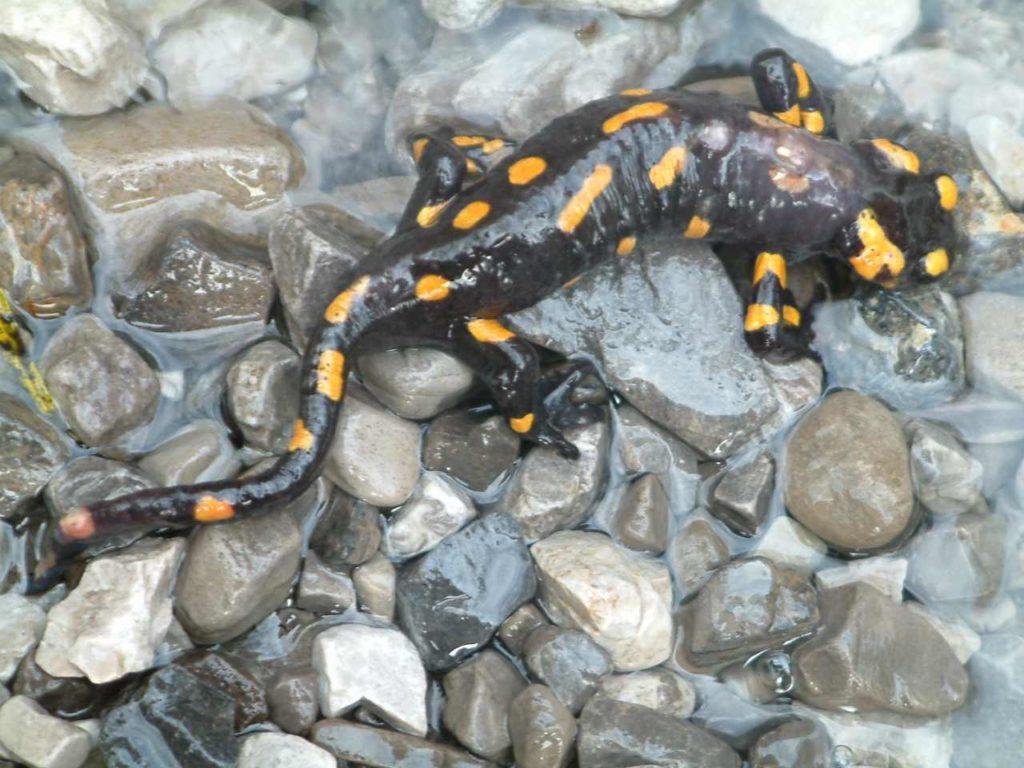 salamandra  salamandra  un anfbio  particolare
