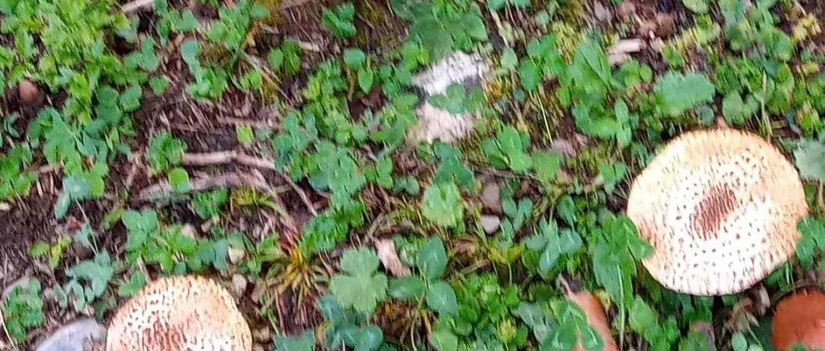 Lepiota acutesquamosa
