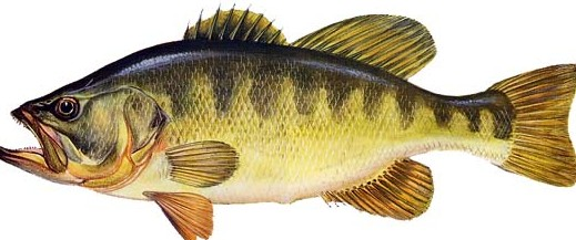 persico trota o black bass