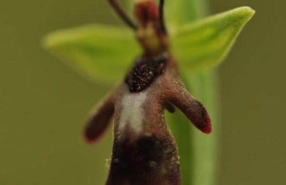 orchidee del lago di Garda