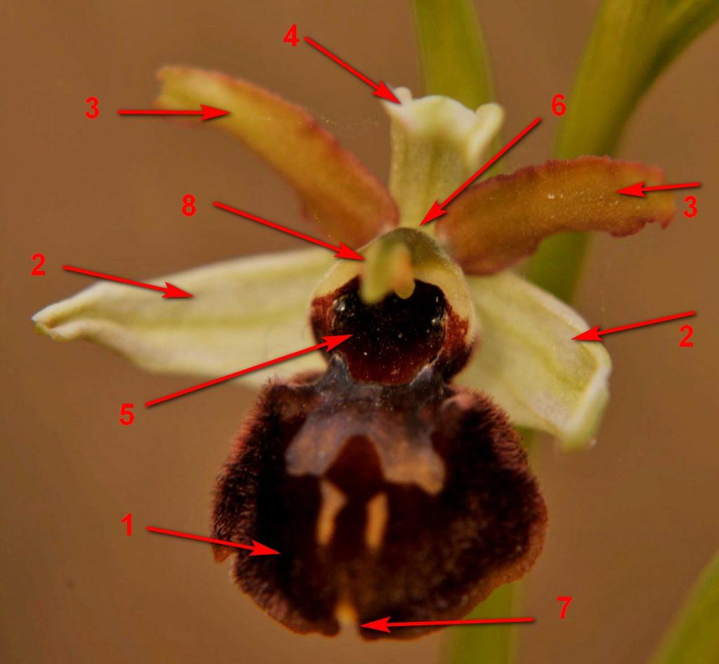 anatomia di orchidea ophris