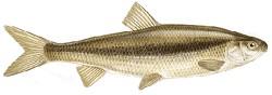 LASCA  Chondrostoma genei